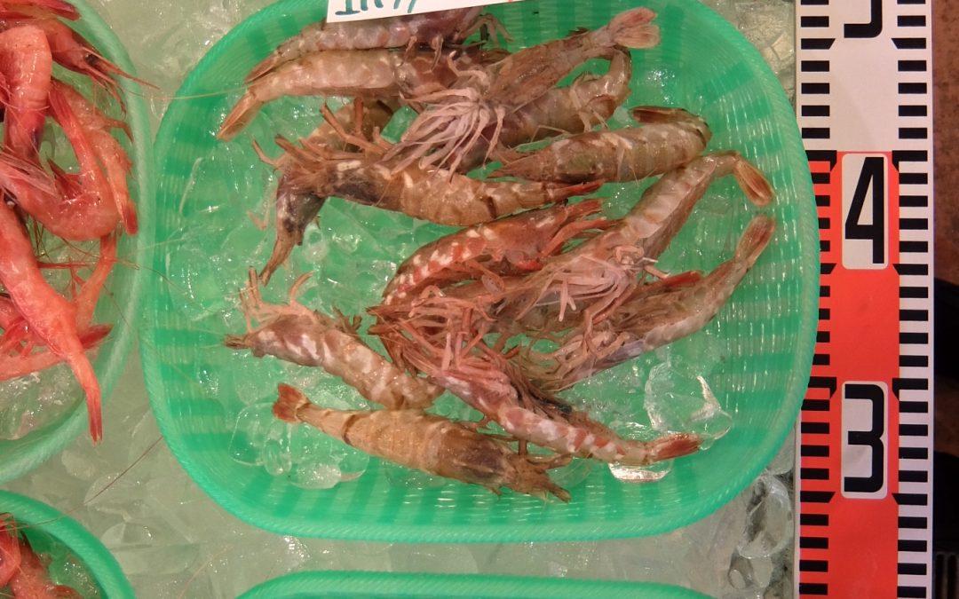 9/15(金)モサエビ、ウスバハギなど。鳥取の旬の鮮魚を販売!