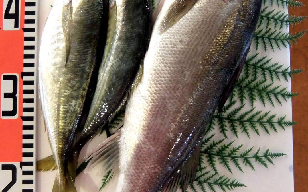4/27(金)鳥取賀露港海鮮市場 かろいち: 真あじ 、セイゴ 、 境港サーモン