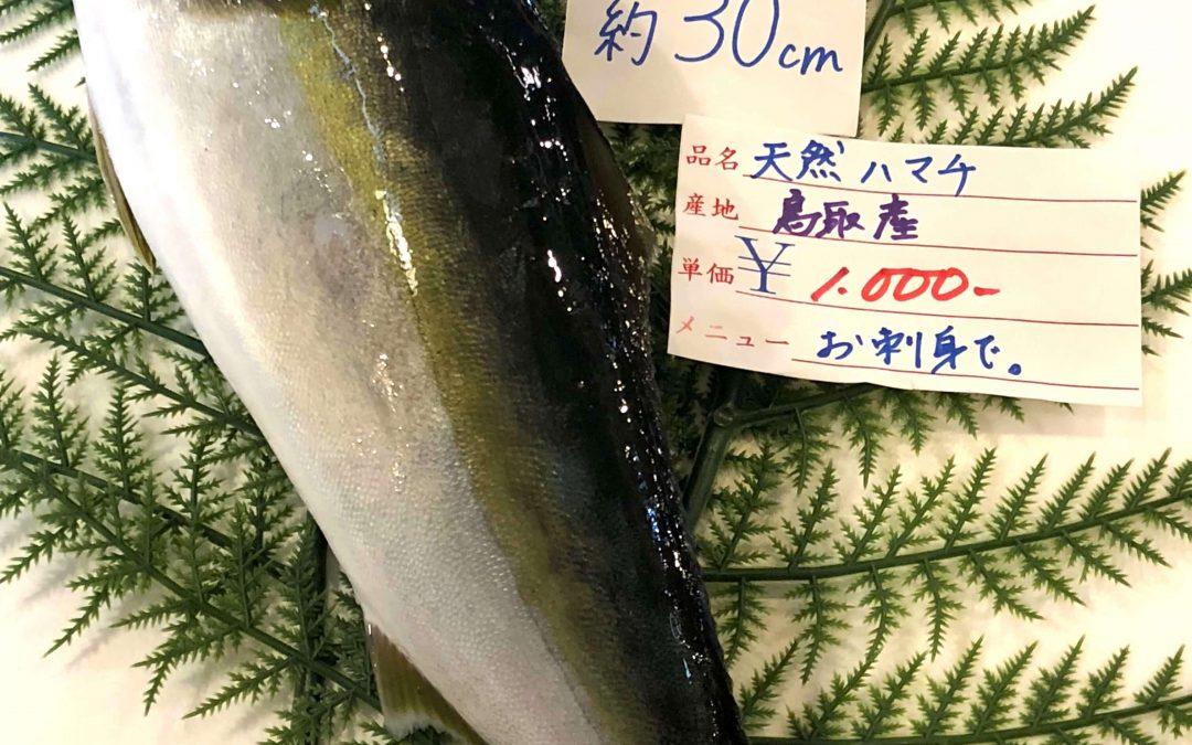 5/28(月)鳥取賀露港海鮮市場 かろいち:天然ハマチ 、 アコウ(キジハタ) 、 イサキなどを販売