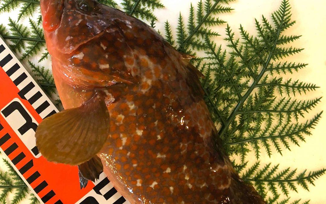 9/28(金)鳥取賀露港海鮮市場かろいち:活アコウ、サザエなどを販売