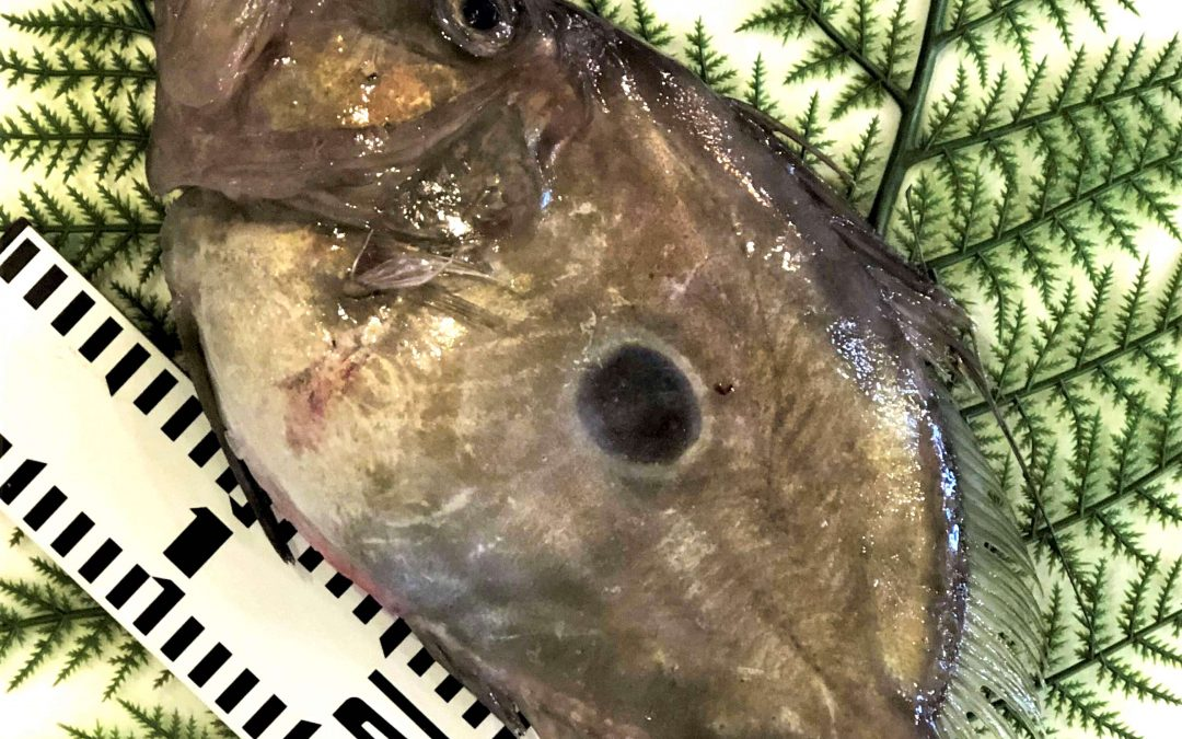 10/19(金) 鳥取賀露港海鮮市場かろいち:マトウダイ、ホウボウなどを販売