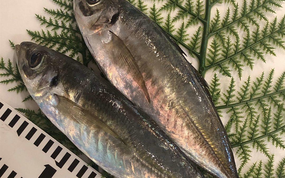 4/22(月) 鳥取港海鮮市場 かろいち:モサエビ、真アジなどが売り場に登場