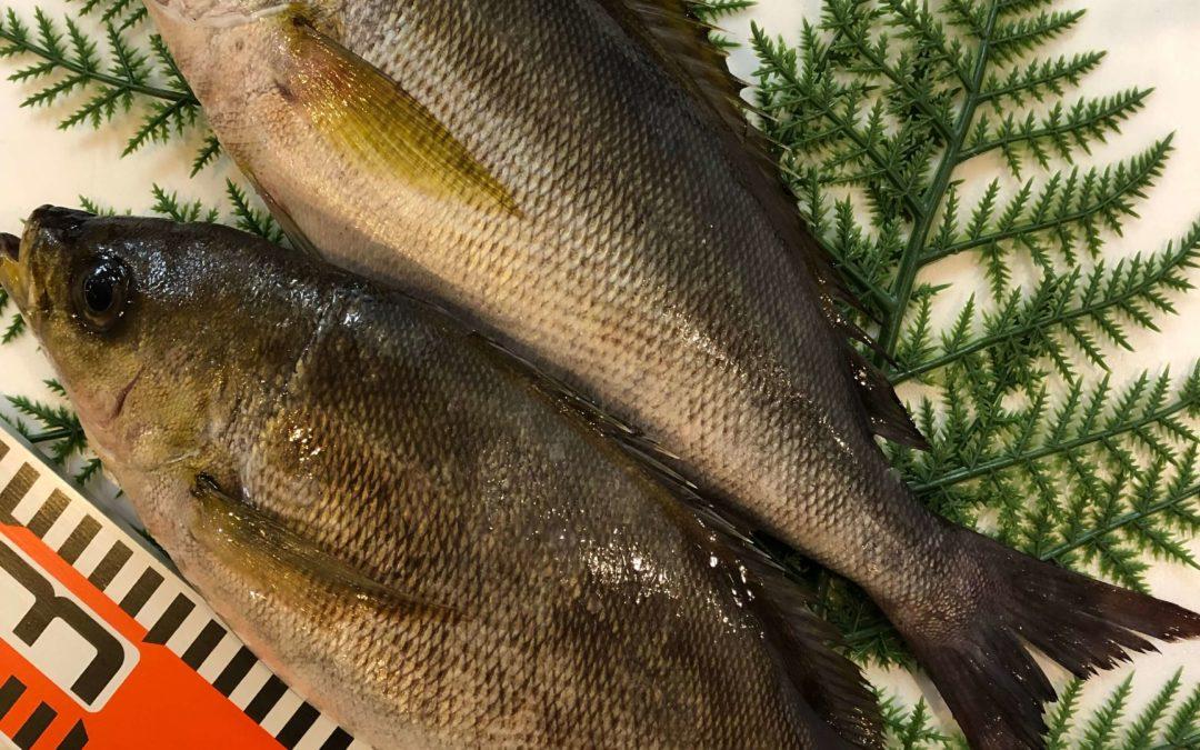 5/13(月) 鳥取港海鮮市場 かろいち:ハマチやイサキなど日本海の旬の鮮魚を販売