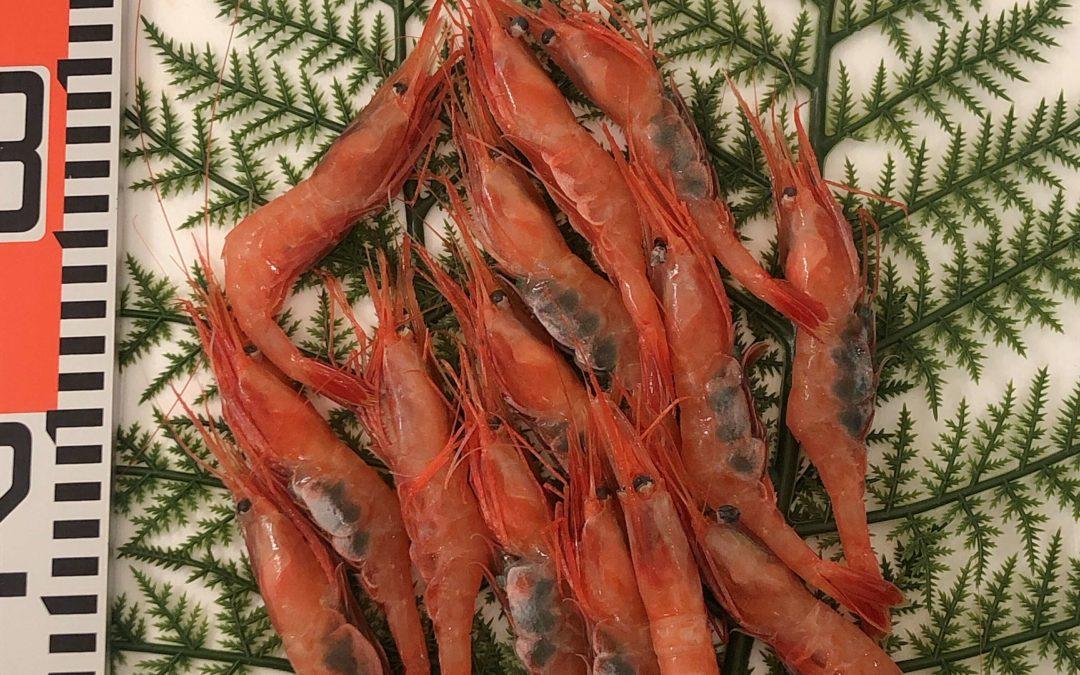 5/17(金) 鳥取港海鮮市場 かろいち:甘エビやサゴシなど旬の鮮魚が盛りだくさん!