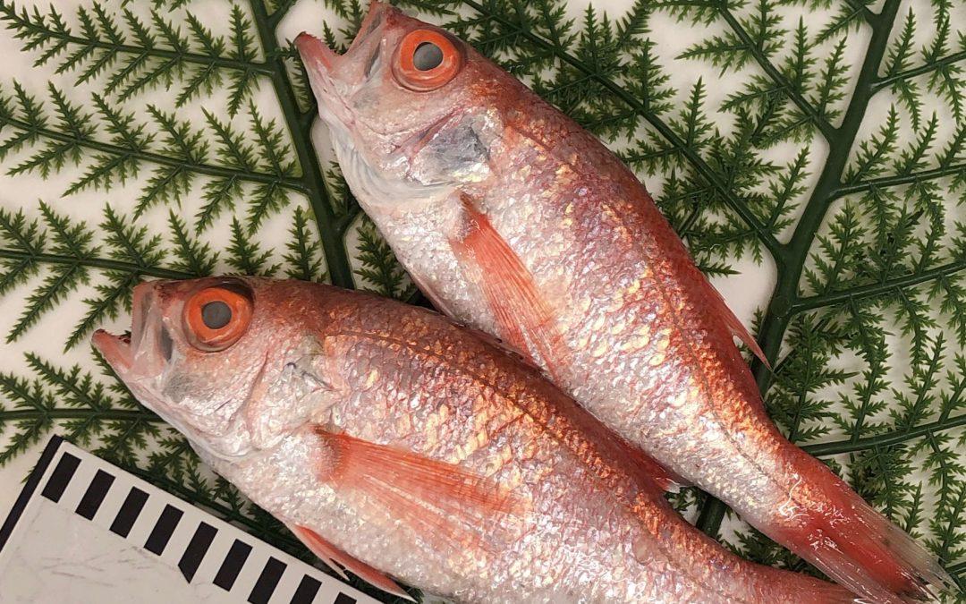 5/24(金) 鳥取港海鮮市場 かろいち:モサエビ、のどぐろなどを販売
