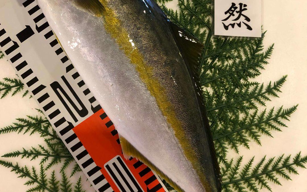 5/27(月)鳥取港海鮮市場 かろいち:ヒラマサ、イガイなどを販売