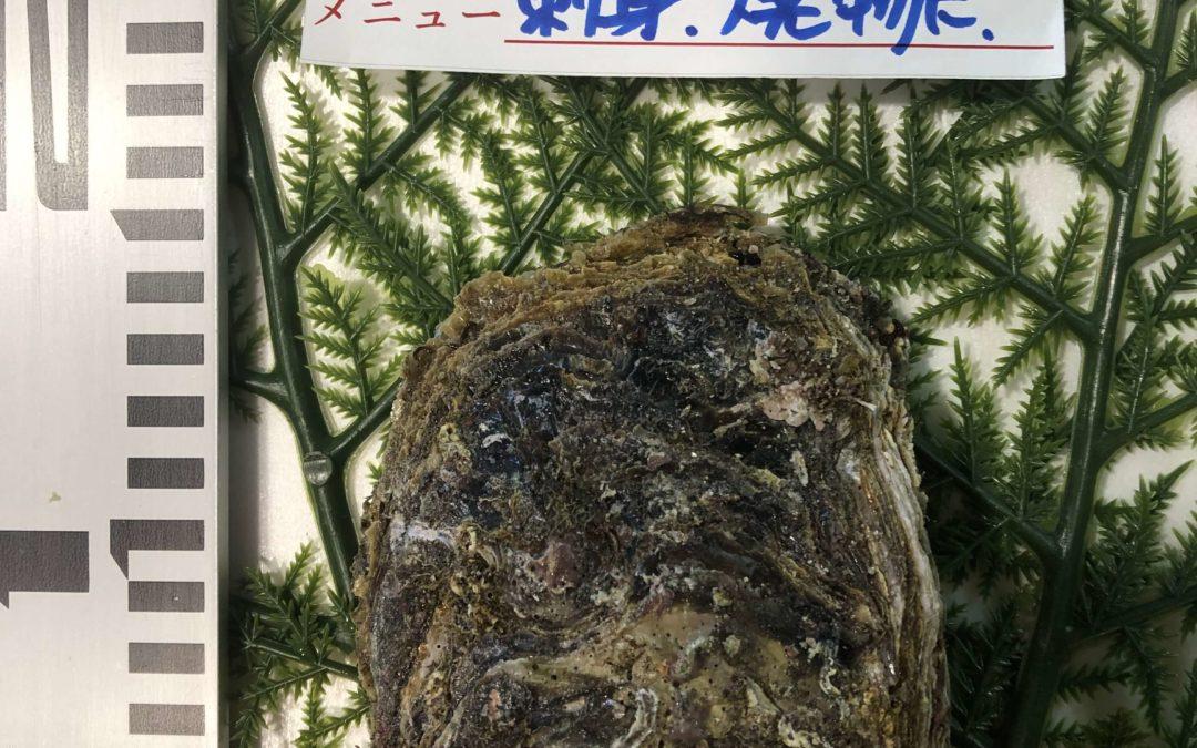 6/17(月) 鳥取港海鮮市場 かろいち:天然岩牡蠣「夏輝」が登場!