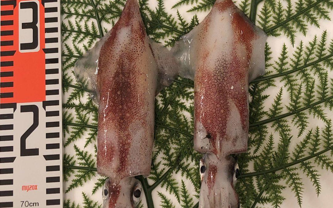 6/7(金) 鳥取港海鮮市場 かろいち:天然岩牡蠣、白イカなどを販売