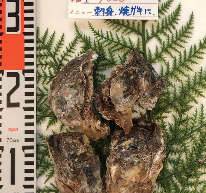 7/5(金) 鳥取港海鮮市場 かろいち:天然岩牡蠣「夏輝」やスズキを販売