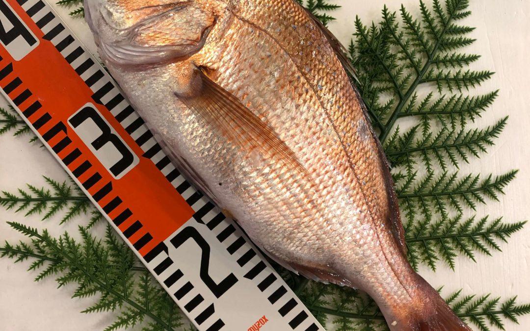 8月2日(金)鳥取港海鮮市場 かろいち:真鯛や岩牡蠣が登場