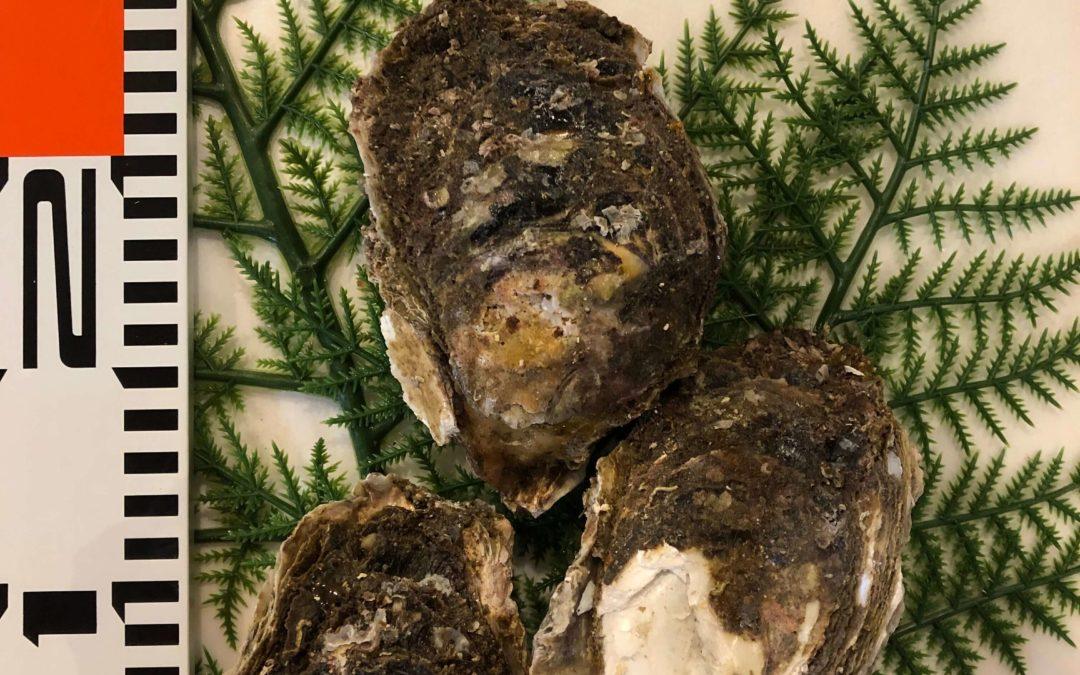 8月5日(月)鳥取港海鮮市場 かろいち:天然岩牡蠣「夏輝」、サザエなどを販売
