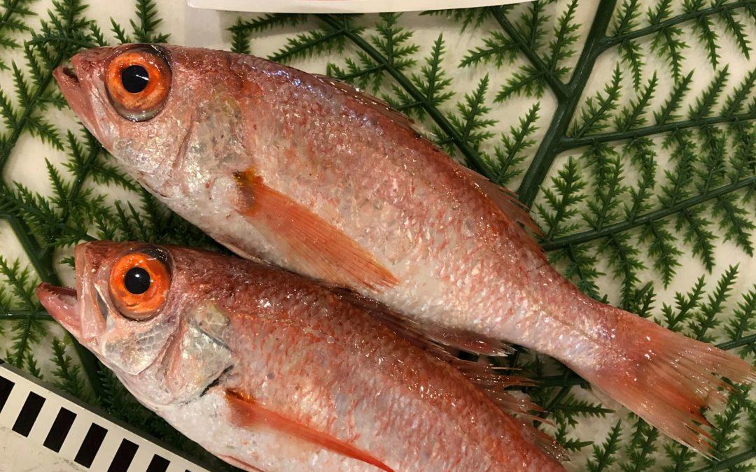 9月30日(月)鳥取港海鮮市場 かろいち:のどぐろ、モサエビなどを販売