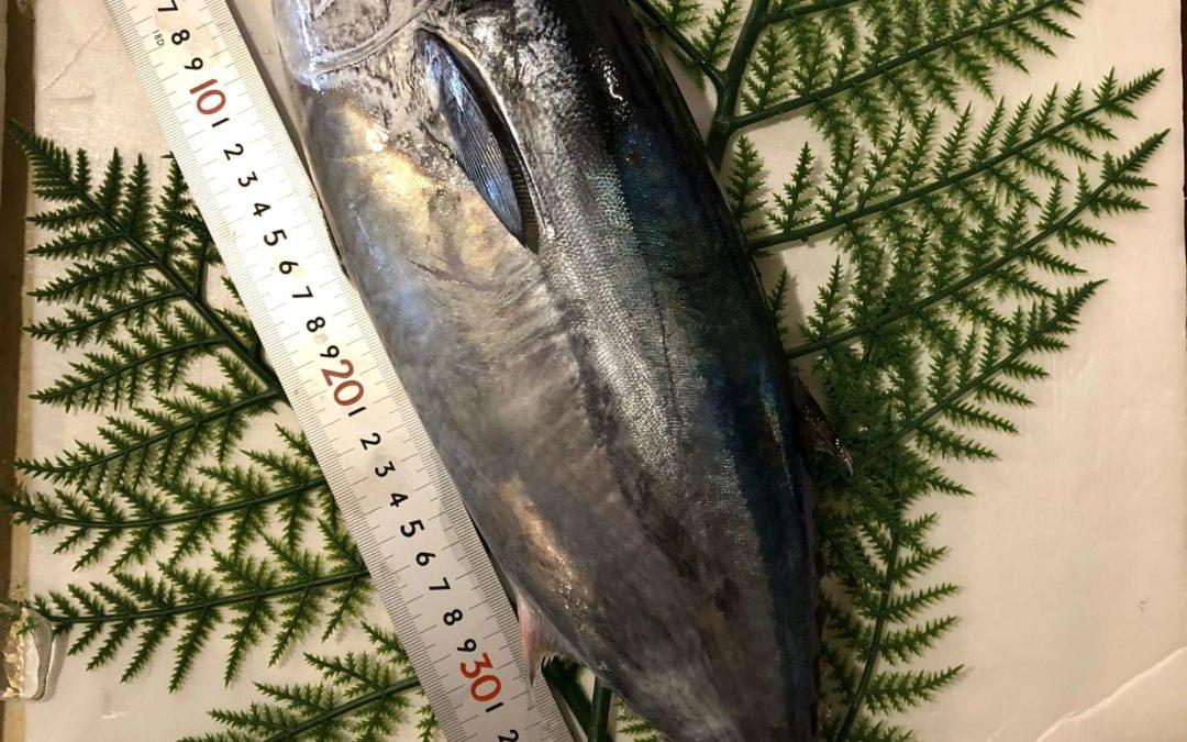 11月22日(金)鳥取港海鮮市場 かろいち:ヨコワや松葉がになどを販売