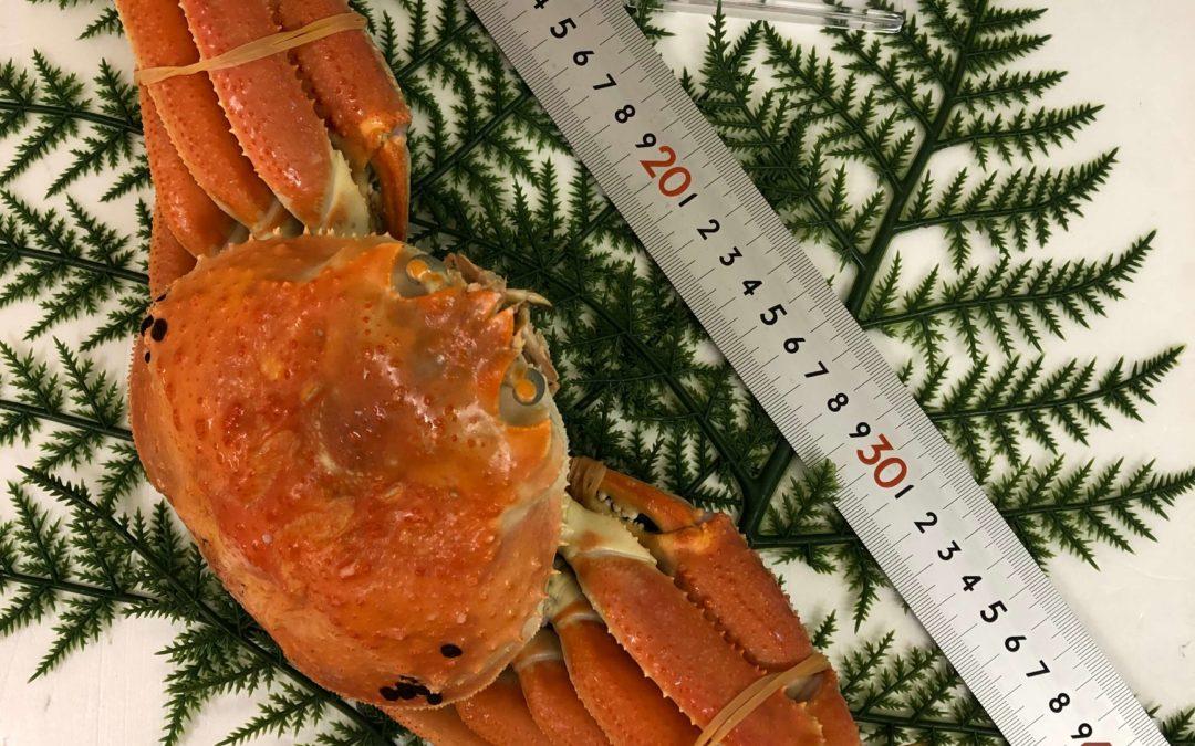 12月20日(金)鳥取港海鮮市場 かろいち:足揃いタグ付き松葉がに、あります!