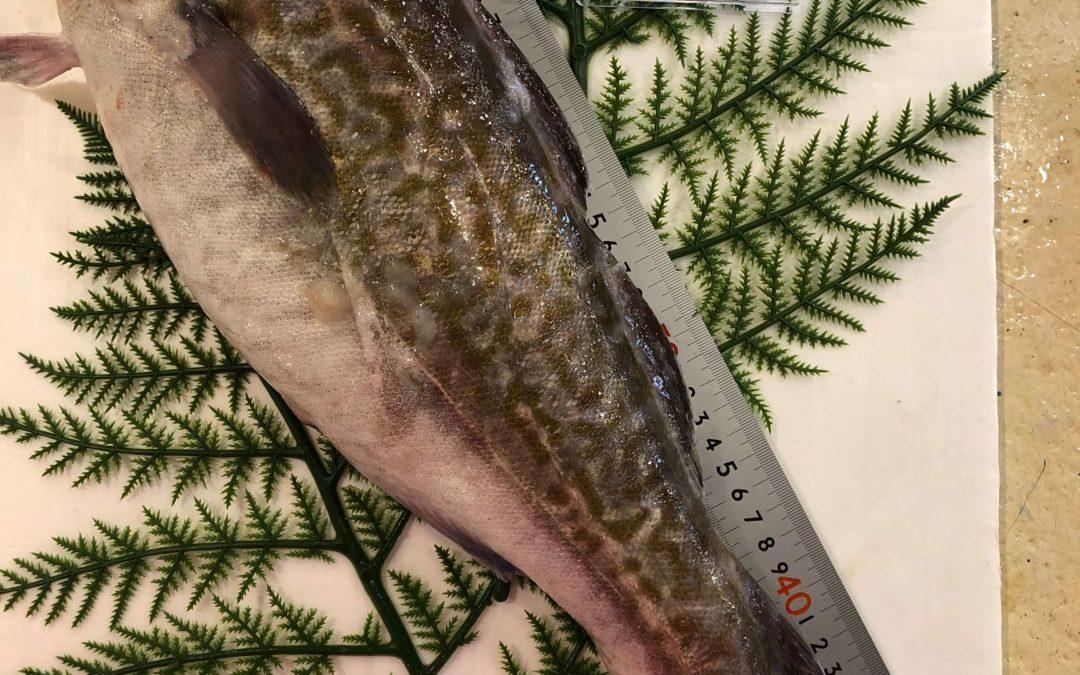 1月24日(金)鳥取港海鮮市場 かろいち:真タラ、カワハギなどを販売