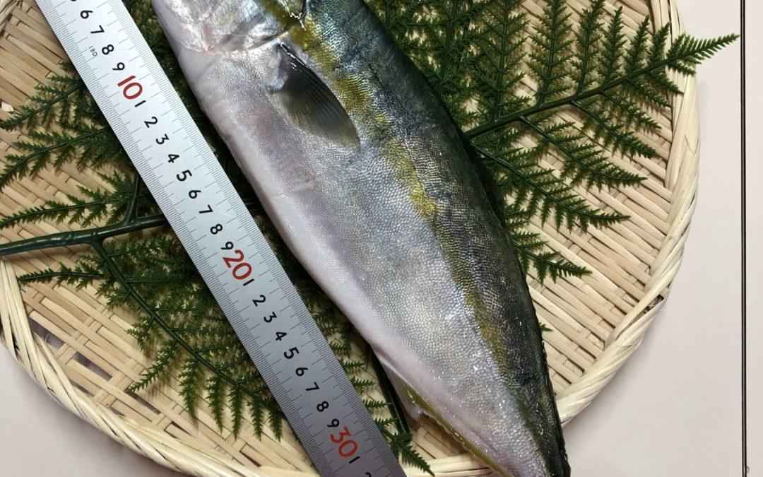 2月21日(金)鳥取港海鮮市場 かろいち:活&茹 若松葉がに、はまちを販売!